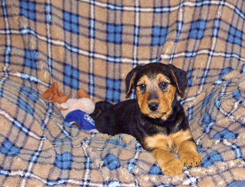 /airedale Terrier puppy