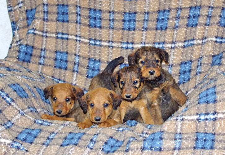Large Airedale puppies