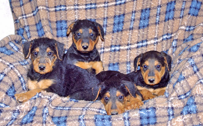Airedale puppies