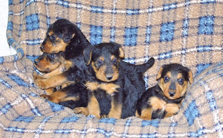 Airedale Terrier puppies
