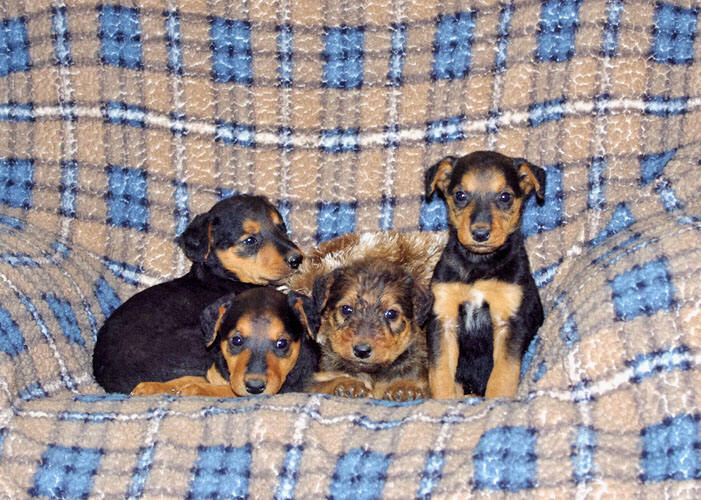 Large Airedale pups