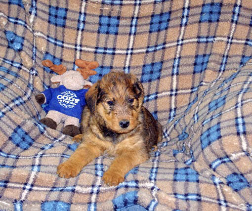 Large red Airedale pup