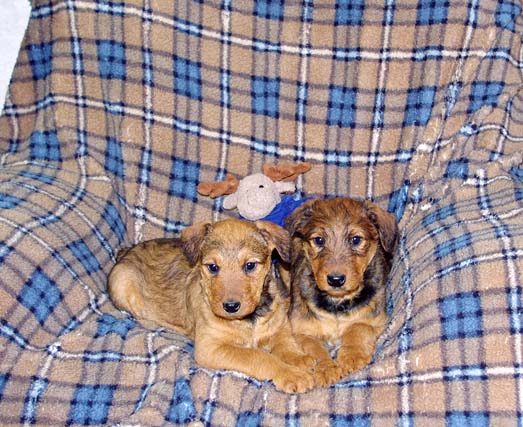 Red Airedale puppy