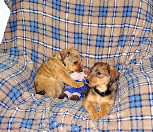 Red Airedale pups