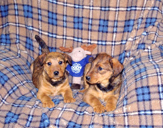 Red Airedale puppies