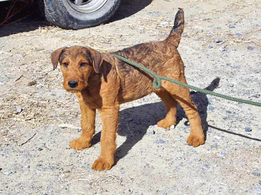 Red Airedale Terrier puppy