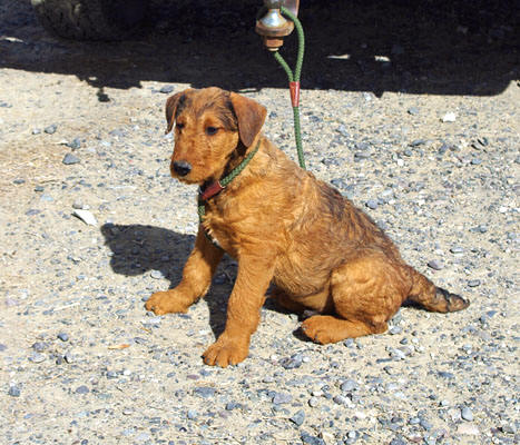 Rare red Airedale puppy