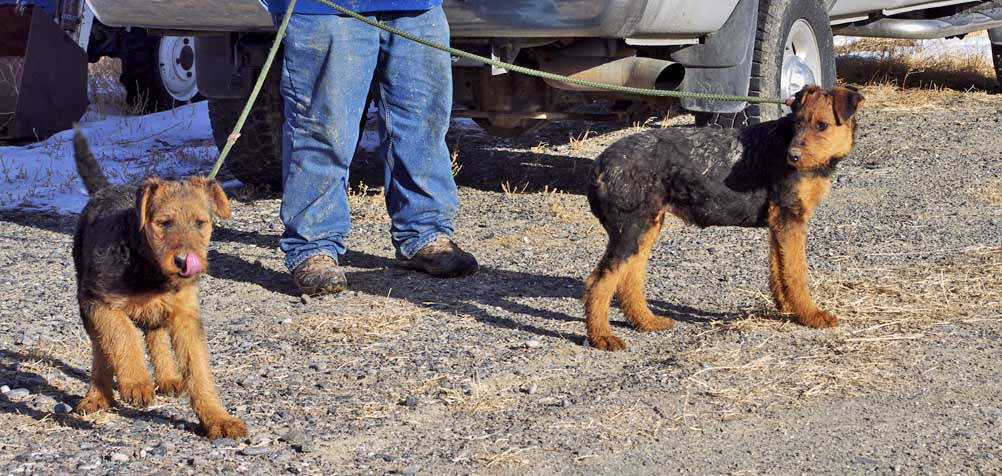 AKC Airedale Terrier pups
